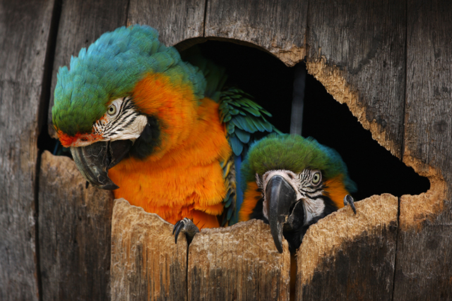 parrots macaw blue yellow green orange birds of paradise tree pair tropical pet portrait