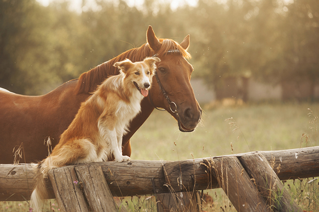 horse dog friends pet friendship odd pairing field sunset glow pet portrait