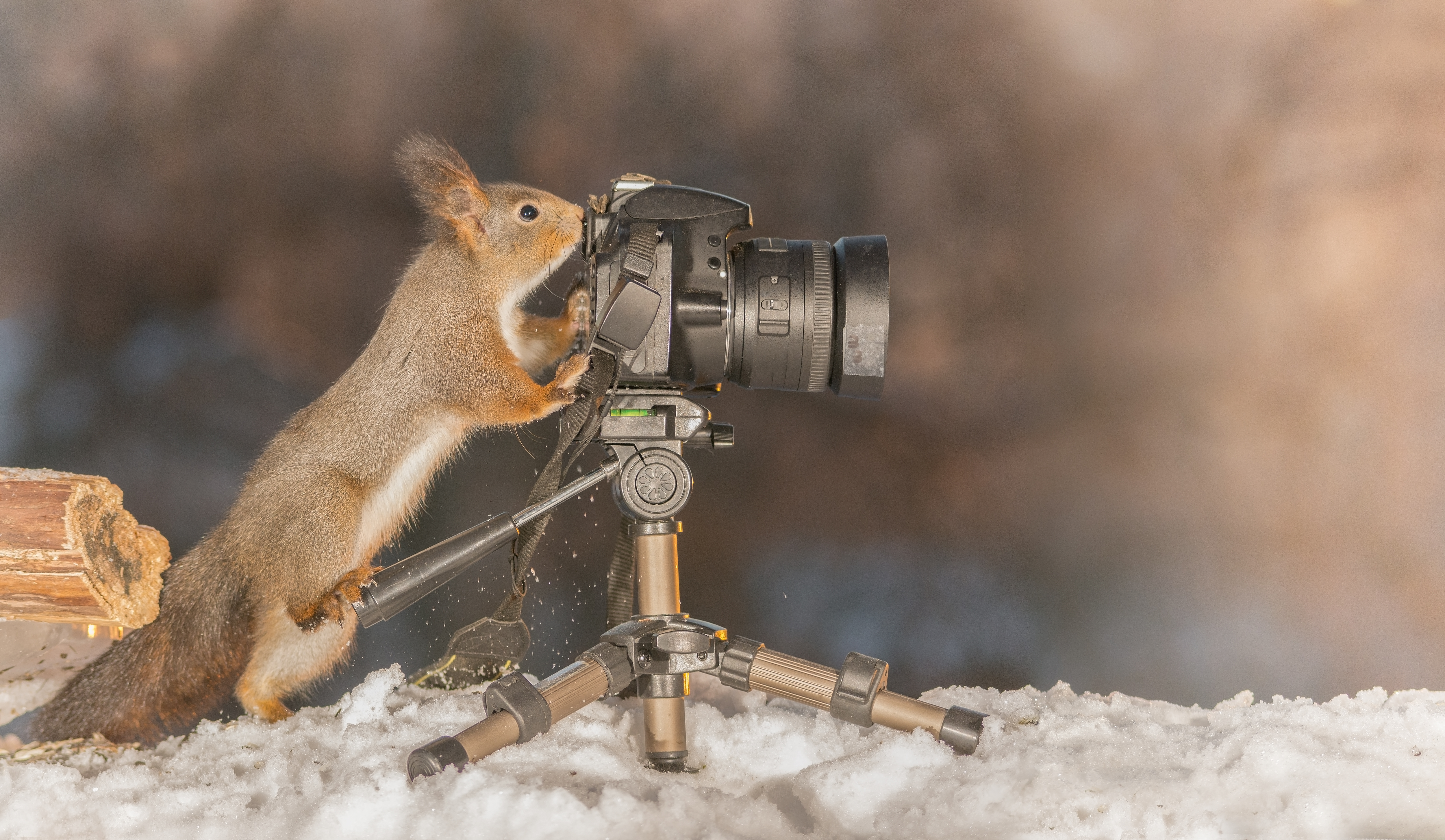 squirrel nuts wildlife photography red grey furry tree camera