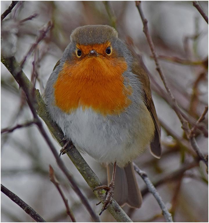 robin bird winter red wildlife photography
