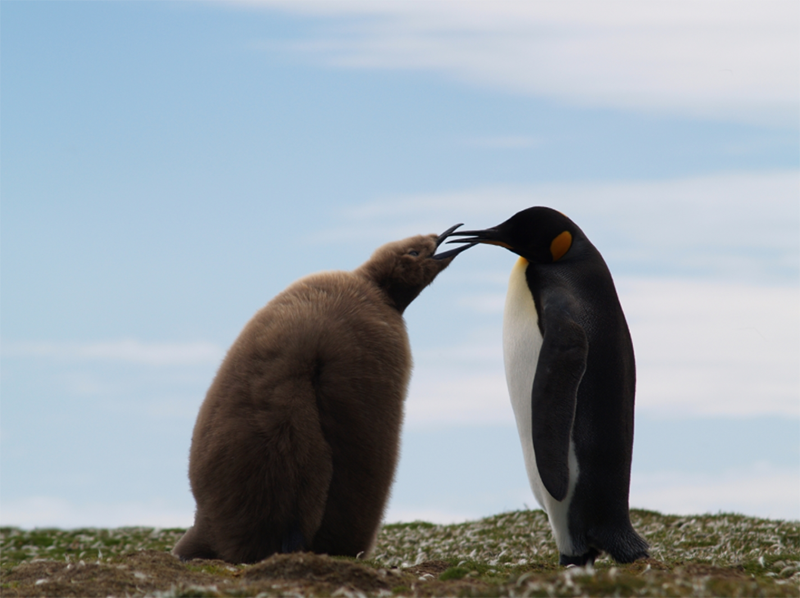 penguin winter antartic snow parent child family animal wildlife