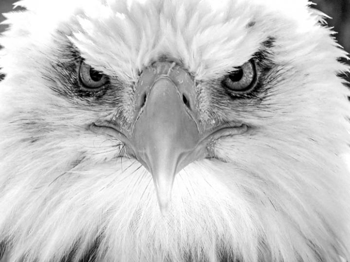 eagle black and white beak eyes wings portrait face photography