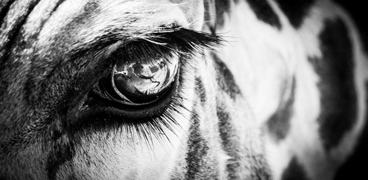 giraffe eye animal wildlife eyelash