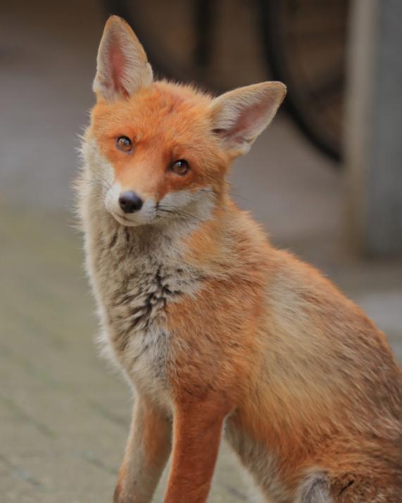 fox wildlife animal red fur photography