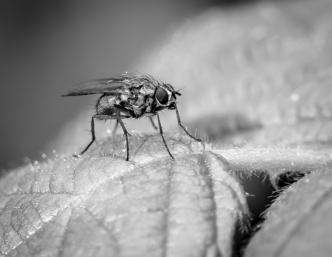 fly black and white close up macro photography detail small legs wings