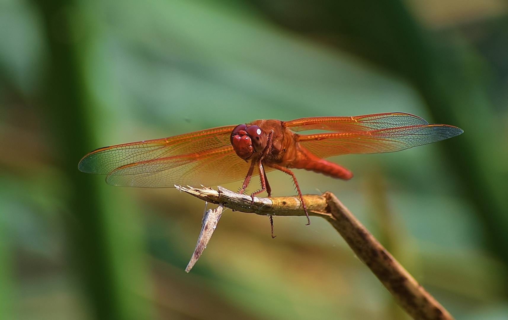 fly dragonfly twig stick branch wings red insect close up macro