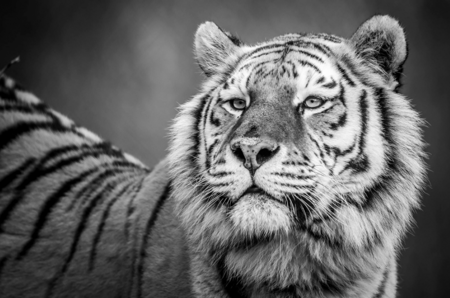 tiger wild animal beast portrait black and white