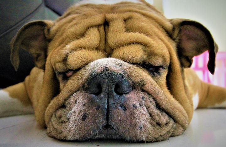 dog asleep pet bulldog tired eyes snout nose ears