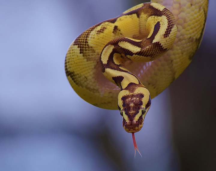 snake scales skin yellow coil portrait animal wild reptile