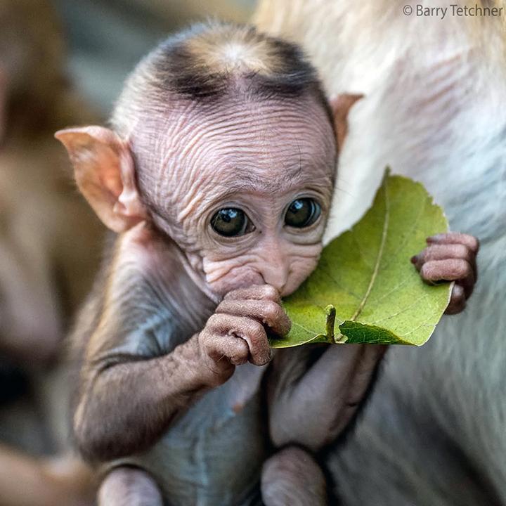 monkey leaves hairless skin wrinkle animal wild