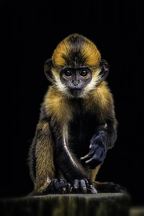 wild animal monkey yellow black portrait
