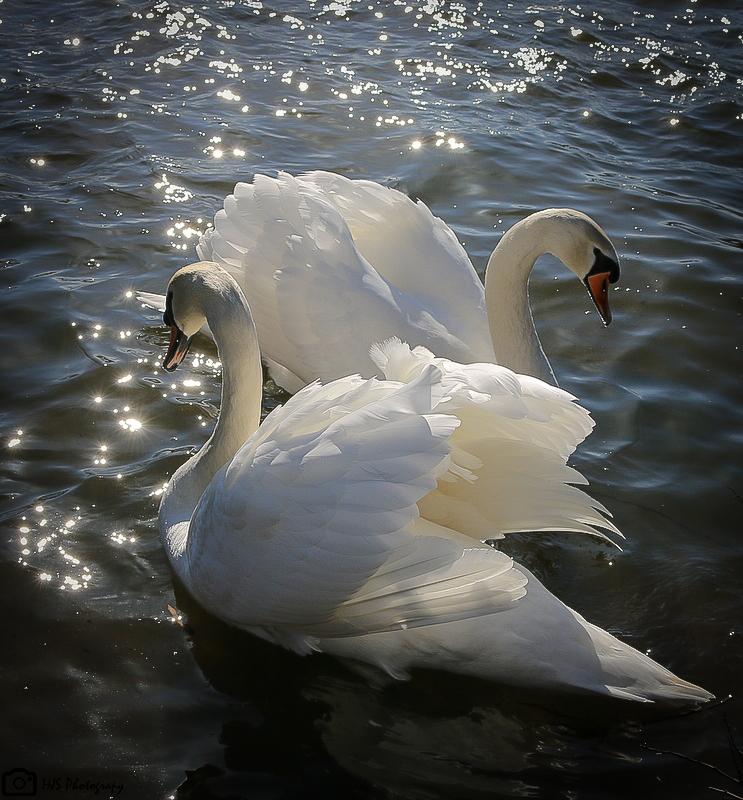 swans water pair wings