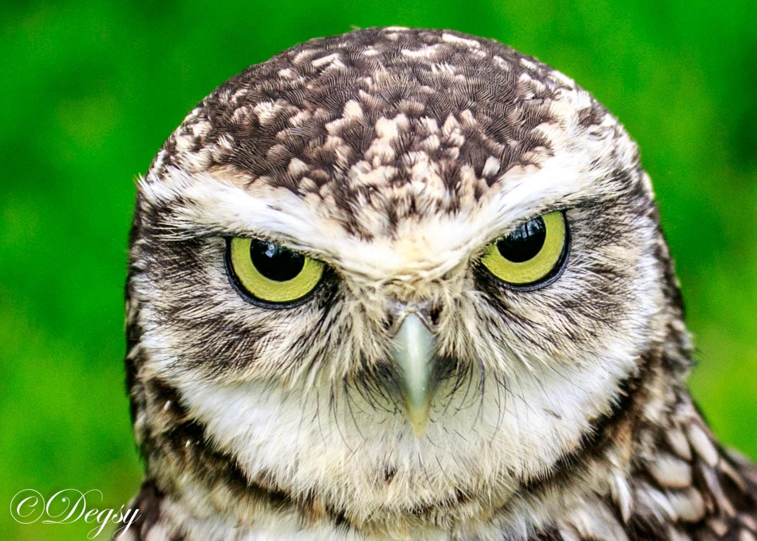owl eyes fur green beak wildlife