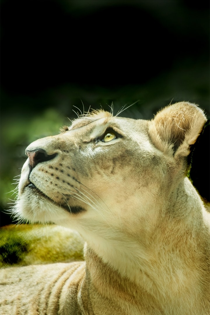 lioness lion female cat face portrait eyes wild animal