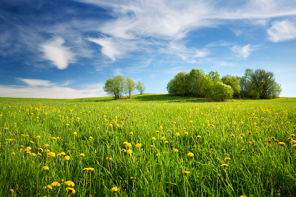 green field blue sky yellow daisies green trees