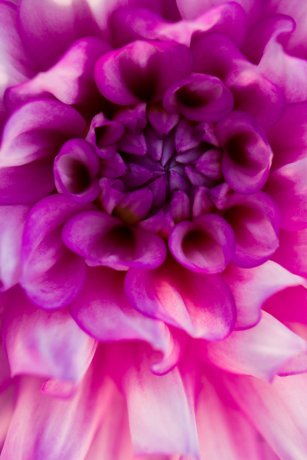 purple pink flower macro photography