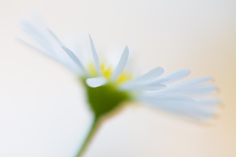 flower photography daisy white green yellow
